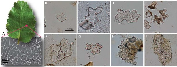 A) Nothofagus leaf and an epidermal peel. A-D) fossil epidermal phyyoliths from Gran Barranca, Argentina, showing size and shape differences. E-H) the same type of phytoliths extracted from Costa Rican surface soils.