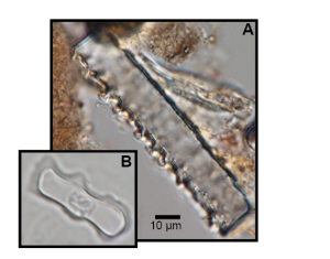 Examples of fossil grass phytoliths: A) long cell B) crenate short cell.